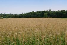 Free Wheat Field Royalty Free Stock Image - 6896306