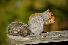 Free The Squirrel Stock Photo - 6897210