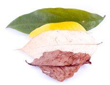 Free Autumn Leaves On White Stock Photo - 6898720