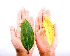 Free Holding Leaf Isolated Stock Image - 6898751