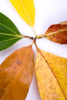 Free Autumn Leaves On White Royalty Free Stock Photography - 6898837