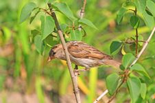 Free Sparrow Stock Images - 6899674