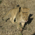 Free Lion Cubs Stock Photography - 690472