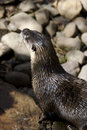 Free Otter Royalty Free Stock Photos - 690998