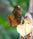 Free Feeding Butterfly Close View Royalty Free Stock Photo - 691415