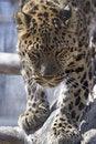 Free Amur Leopard Stock Photo - 692480