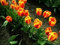 Free Tulips Up Close Royalty Free Stock Photography - 694907