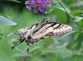 Free Swallowtail Butterfly Stock Photos - 699713