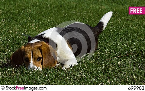 Free Will You Play With Me - Beagle Stock Photos - 699903