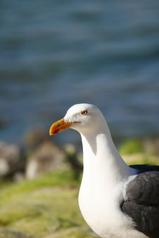 Free Gull Royalty Free Stock Images - 690189