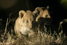 Free Lion Cubs Royalty Free Stock Photo - 690425