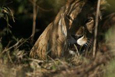 Free Lion Royalty Free Stock Image - 690426