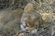 Free Lion Cub Stock Photo - 690470
