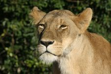Free Lioness Stock Photos - 690513