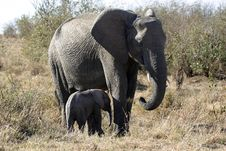 Free African Elephants Royalty Free Stock Photos - 690548