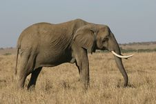 Free African Elephant Royalty Free Stock Photo - 690565