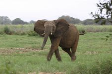 Free African Elephant Royalty Free Stock Photography - 690577