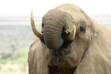 Free Elephant Portrait Royalty Free Stock Images - 690599