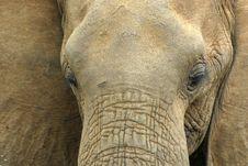 Free Elephant Portrait Royalty Free Stock Photo - 690615