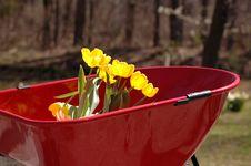 Tulips In Wheel Barrow Royalty Free Stock Photography