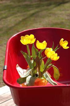 Tulips In Wheel Barrow Stock Photo