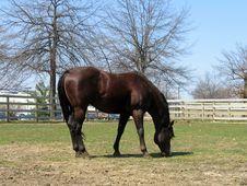 Free Chestnut Stallion Royalty Free Stock Images - 690849