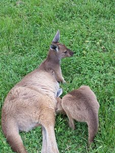 Free Kangaroo With Joey Royalty Free Stock Photo - 691285