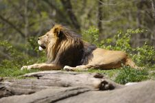 Free Lion Stock Photography - 691412