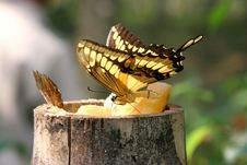Free Feeding Yellow Butterfly Stock Photos - 691413