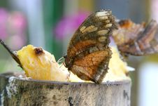 Free Feeding Butterfly Stock Images - 691414