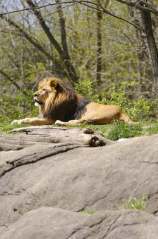 Free Lion Stock Photo - 691430