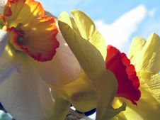 Free Daffodils 1 Royalty Free Stock Photo - 691695
