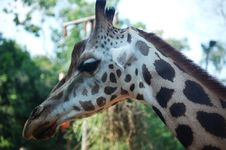 Free Mr Girafe Royalty Free Stock Images - 691899