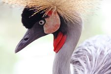 Free America Crown Crane Stock Photography - 691952