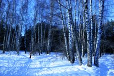 Free Birchwood In The Winter. Royalty Free Stock Image - 692036