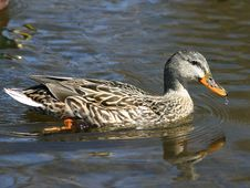 Free Female Duck Stock Photos - 692113