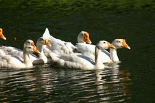 Free Geese In A Pond Stock Photo - 692180