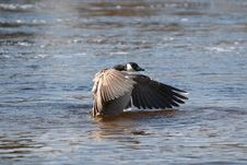 Free Goose On Water 3 Stock Photos - 692373
