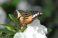 Free Clipper (parthenos Sylvia) On White Flower Royalty Free Stock Image - 692376