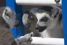 Free Talking Lemurs Stock Photo - 692470