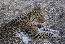 Free Amur Leopard Stock Image - 692491