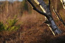 Free Silver Birch And Heather Stock Photos - 693263