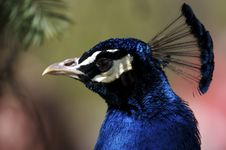 Free Peacock Stock Image - 693661