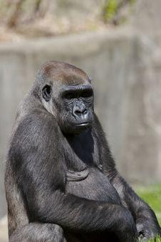 Free Gorilla Stock Image - 693671