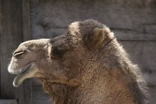 Free Camel Stock Photos - 693673