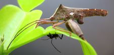 Free Western Conifer Seed Bug Royalty Free Stock Photography - 693677