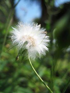 Free Dandelion Seed Head Stock Photos - 693713