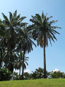 Free Palm Trees Royalty Free Stock Photo - 693765