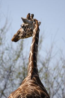 Free Giraffe Stock Photos - 693933