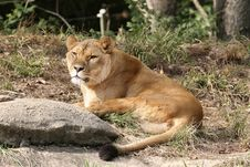 Free Lioness Royalty Free Stock Photography - 694267